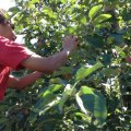 Apple Picking Near Boston with Kids: Pick Your Own Fun!
