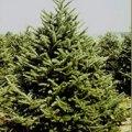 Christmas Tree Farms in Connecticut (Fairfield County)