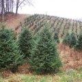Living Christmas Trees - LA's Green Christmas Choice