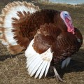 Pasture Raised, Organic Turkeys in Westchester and Lower Hudson Valley