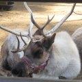 Santa's Reindeer Romp with Kids at the LA Zoo
