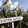 Corn Mazes with the Kids in Fairfield County, CT