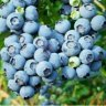 Blueberry Picking in Connecticut: Pick Your Own Farms