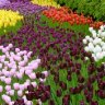What's Blooming in NYC this Spring: Macy's Flower Show, Cherry Blossoms, Tulips and Daffodils