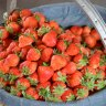 Pick-Your-Own Strawberry Farms in the Philadelphia Area