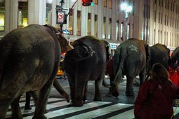 Circus Elephants Walk Across Manhattan March 22, 2010