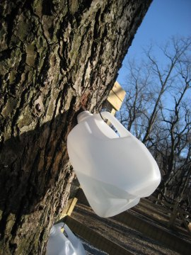 Maple Sugaring on Long Island 2015