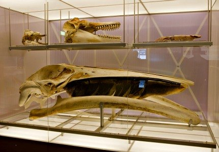 Toothed whale and baleen whale skulls; photo courtesy of Museum of New Zealand Te Papa Tongarewa