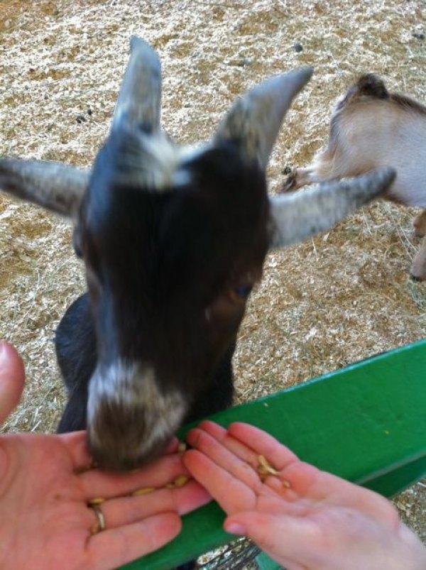 Feeding the goat at the Barnstable County Fair