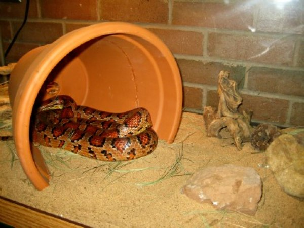 A live corn snake on display in the Greenbelt Nature Center
