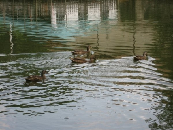 Ducks swimming in the lake