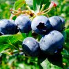 Where to Pick Your Own Blueberries, Blackberries, and More on Long Island