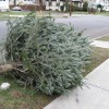 How To Recycle Your Christmas Tree in LA