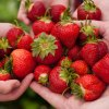 Pick Your Own Strawberry Farms and Festivals Near NYC