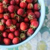 Pick Your Own Strawberry Farms and Festivals in New Jersey