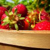 Pick Your Own Strawberry Farms and Festivals on Long Island