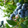 Pick Your Own Blueberry Farms in New Jersey