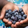 Pick Your Own Blueberries, Raspberries, and More Fruit Near NYC