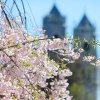 Must-See Cherry Blossoms in New Jersey's Branch Brook Park