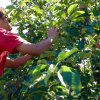 15 Places to Go Apple Picking Near Boston with Kids