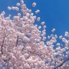 Cherry Blossom Festival for NJ Families in Essex County Park