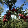 Best PA Apple Picking Orchards for Philadelphia Families