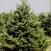 Christmas Tree Farms in Fairfield County