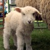 Sheepshearing and Wool Festivals in New England