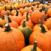 Pumpkin Picking Places for Boston Families