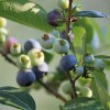 Where to Pick Blueberries with Kids in the Boston Area