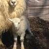 Springtime Visits to Baby Farm Animals in Fairfield County