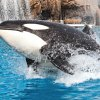 SeaWorld San Diego's New Orca Encounter: How Different Is It?