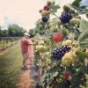 Pick Your Own Fun: Houston Farms for Berry Picking