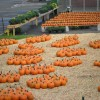 Pumpkin Patches and Corn Mazes in New Haven County