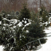 Cut Your Own Christmas Tree Farms in Litchfield County