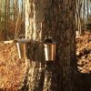 Maple Sugaring Season in Litchfield County