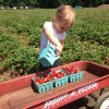 Strawberry Picking Season in the Hartford Area