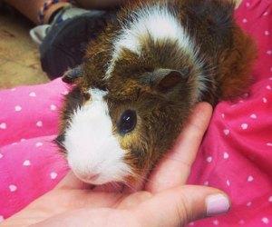 Cuddle a guinea pig at The Art Farm