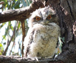 Whooooooo you looking at? Yes, you, tawny frogmouth. Photo by PsJeremy/CC BY 2.0