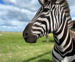 The Drive-thru Safari Park is open again! Photo courtesy of Wild Florida