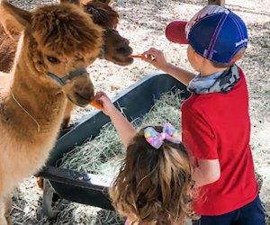 Say hello to the resident alpacas at Li'l Bit of Life Farm's Back to School Farm Day,