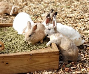 Make friends with the bunnies at Abma's Farm. Photo courtesy of the farm