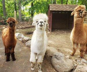 See adorable alpacas at Abma's Farm
