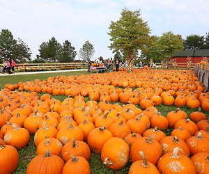 Gorgeous pumpkins await at All Seasons Apple Orchard in Woodstock. Photo courtesy of  orchard