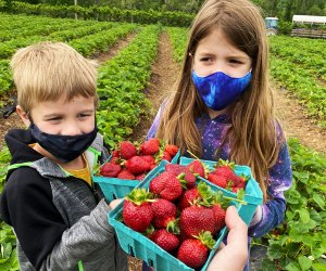 Strawberry picking at Alstede Farms in NJ makes for a sweet day trip. Photo by Rose Gordon Sala