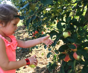 Kids can pick apples from the smaller trees at Alstede Farms. Photo by Rose Gordon Sala