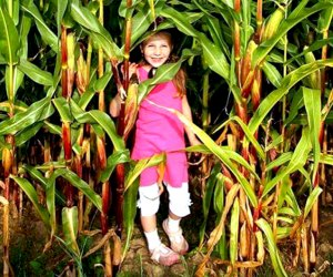 Alstede Farms' Giant Corn Maze opens this weekend! Photo courtesy of the farm