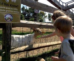 Alstede Farms petting zoo