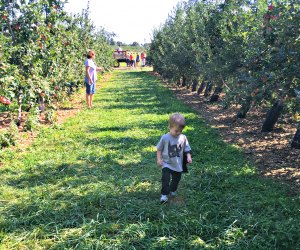 Little boy wanders through the orchard at Alstede Farms