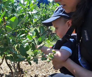 Even the littlest visitors can pick their own blueberries.